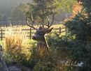 Backyard Elk