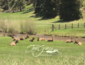 Bull Elk in Field small png